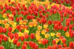 Insel Mainau Tulpenblüte ©Achim-Kaeflein-Fotografie Freiburg